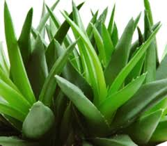 Herbs aelo